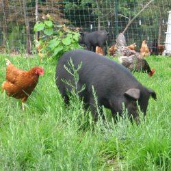 Fläskkött, kyckling och att vittna för din muslimske granne
